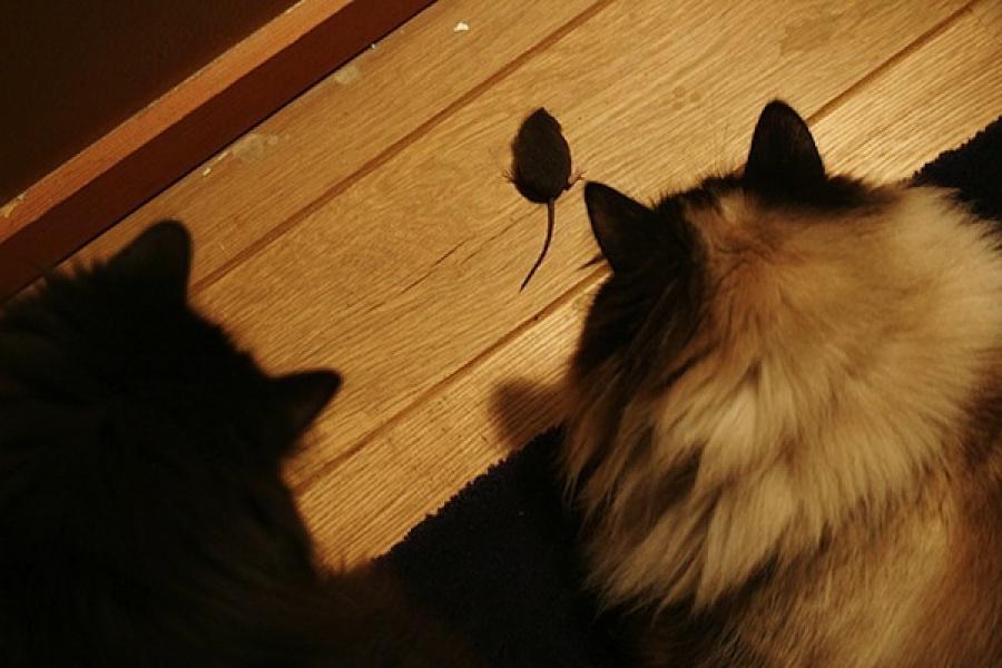 Cu ce ar trebui sa imi hranesc pisica