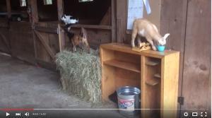 O pisica si o gramada de capre