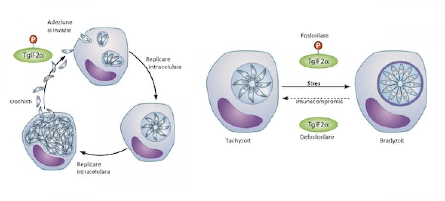Toxoplasmoza – Profilaxie (cum se previne)