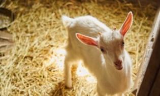 Precizari privind varsta pentru identificarea animalelor de renta