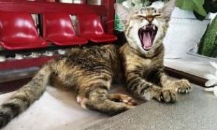 Descoperirea unei gene la pisica poate ajuta la prevenirea pierderii dintilor la acestea