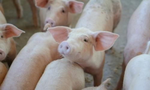Vaccinul aflat in studiu clinic in China impotriva Pestei Porcine Africane are rezultate promitatoare