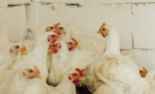Gripa aviara intr-o exploatatie comerciala din Maramures