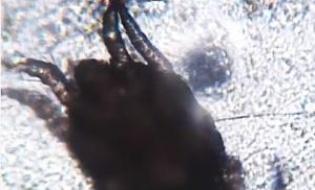 Otodectes din urechea unei pisici - video - din cazuistica colegilor veterinari