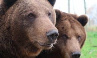 Indrumar tehnic de capturare si relocare ursi