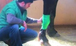 Higroma genunchiului (carpului) la cai