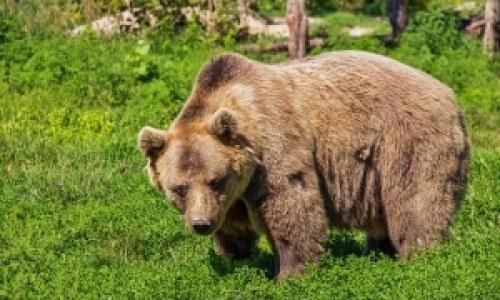 Un urs a murit in agonie dupa 18 ore de chin