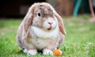 Date fiziologie si reproductie iepuri