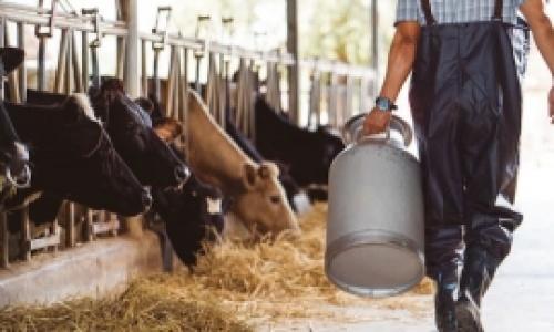 Dermatita digitalala bovine