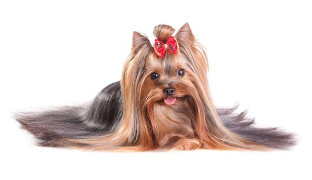 Yorkshire Terrier, un catel independent si curajos