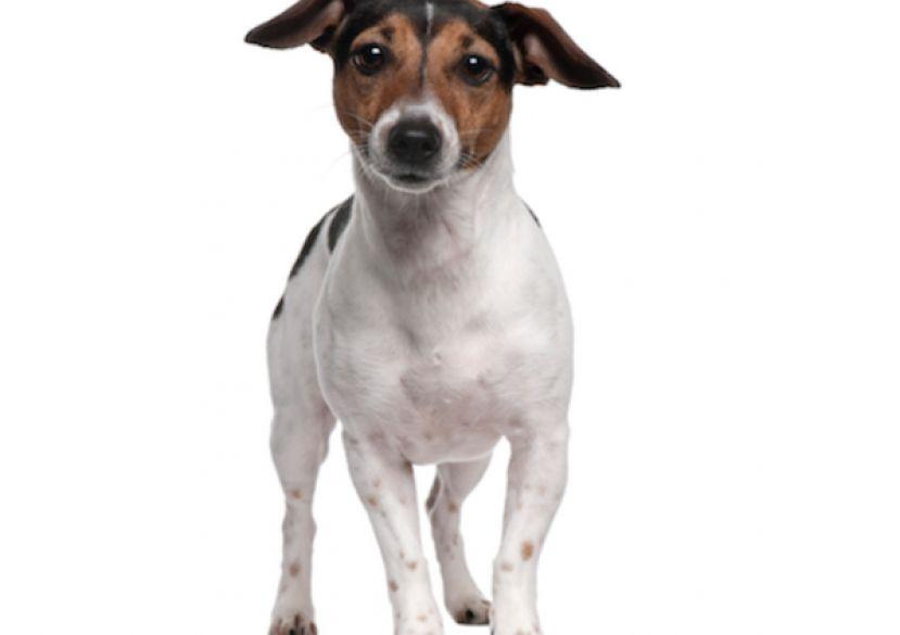 Jack Russell Terrier, un catel independent