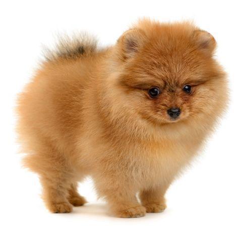 Spitz Finlandez (Finkie): Caracteristici rasă câine