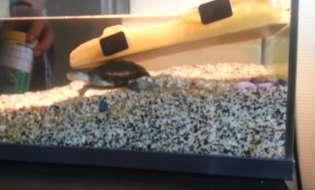 Intretinerea Broastei testoase noroi (Pelusios castaneus)
