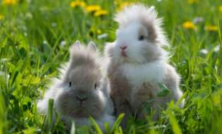 Cresterea si ingrijirea puilor de iepuri