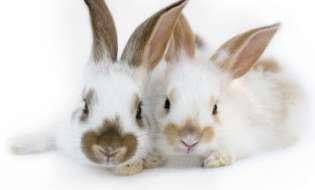 Castrarea si sterilizarea la iepurii de companie